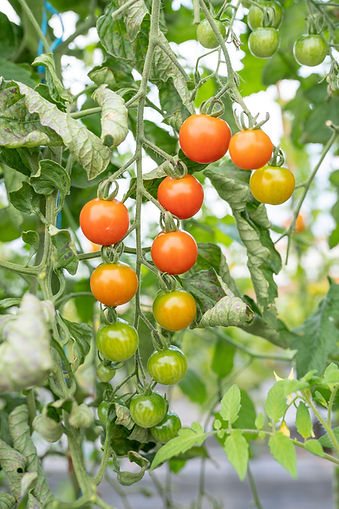 Organic Tomatoes Farm Cherry PEI Prince Edward Island Vine Ripened