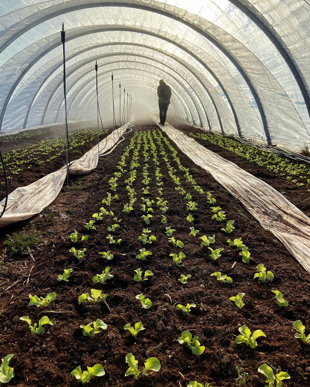 organic vegetable farm pei greenhouse lettuce spring