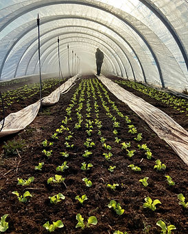 Organic Farm Farming High Tunnel Greenhouse Lettuce Season Extension PEI Prince Edward Island Fresh Local Greens