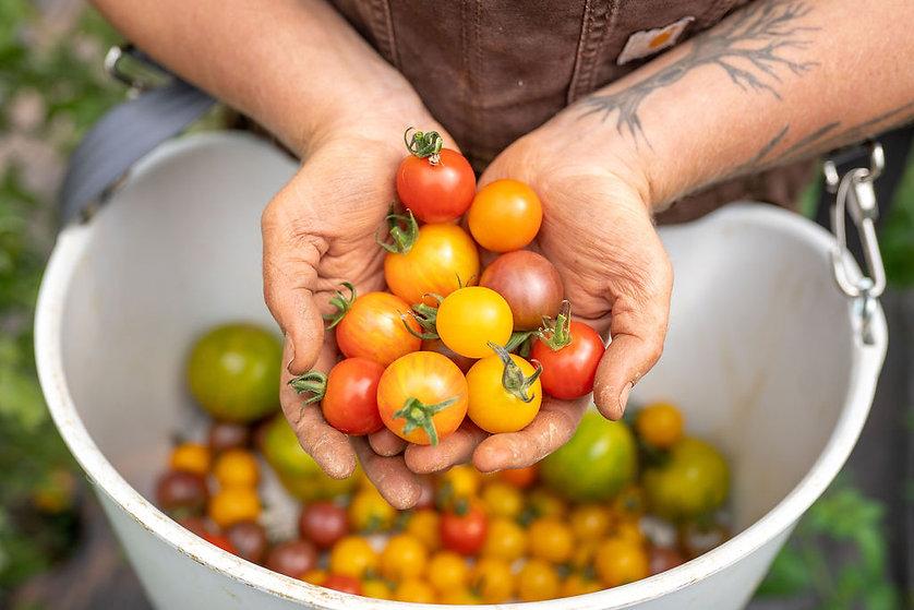 Organic Farm Farming Cherry Tomatoes Vine Ripened Local Fresh PEI Prince Edward Island