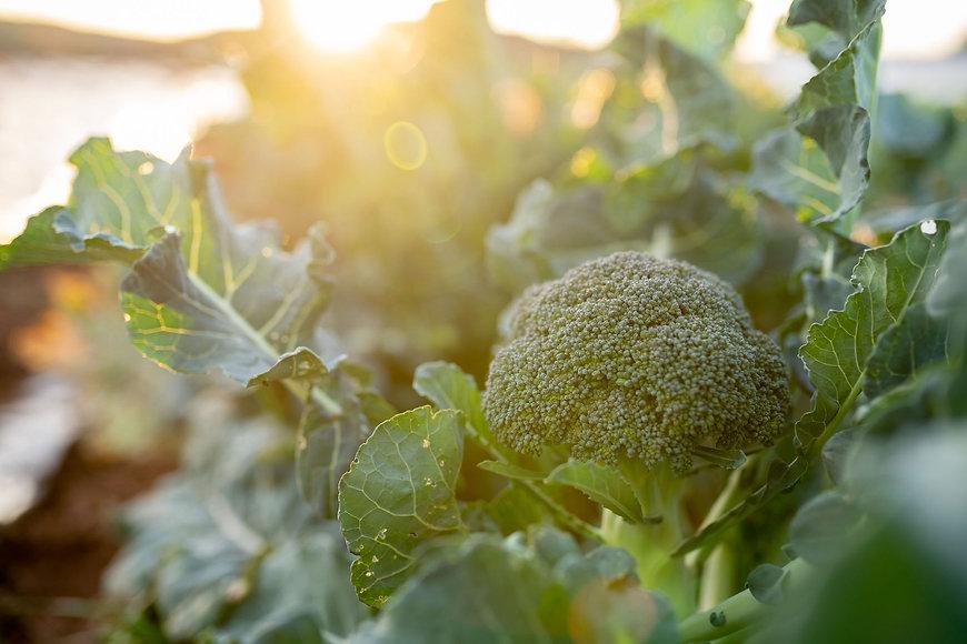 Organic Farm PEI Prince Edward Island Broccoli Golden Hour Bonshaw