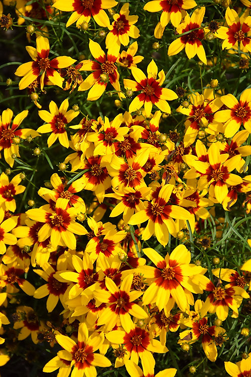 Coreopsis S. &S. 'Curry Up'