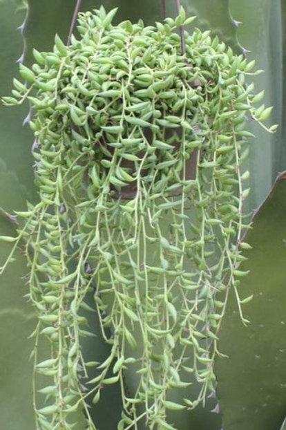 String of Banana Succulent Basket