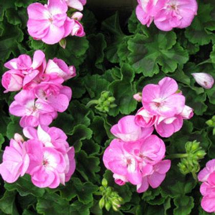6 inch Lavender Geranium