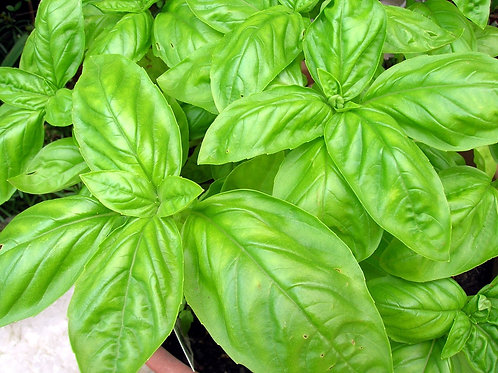 Basil, Italian Large Leaf