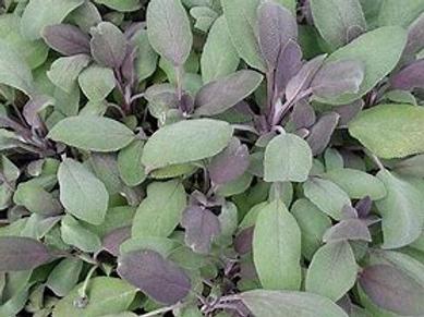 Sage, Purple