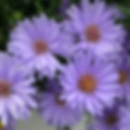 aster_plant_days_blue_1918_detail[1].jpg