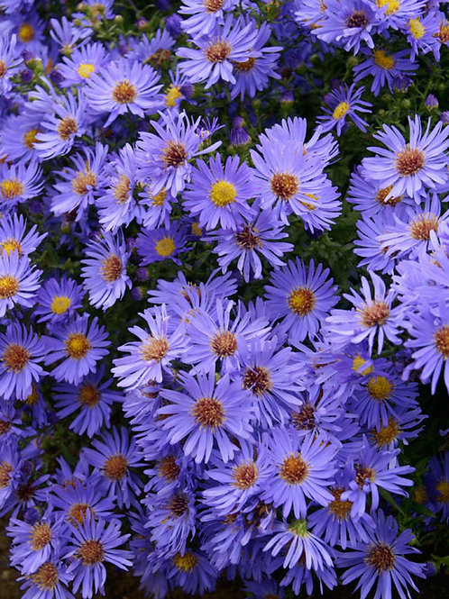 Aster 'Wood's Blue'