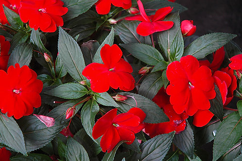 10 inch Hanging Basket Red New Guinea