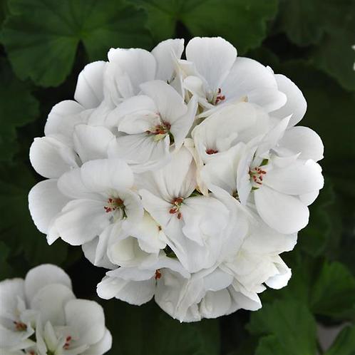 6 inch White Geranium
