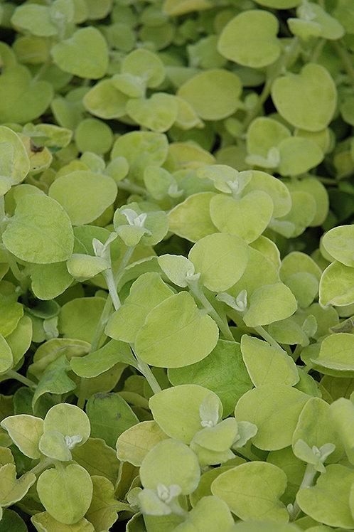 Lemon Licorice Plant