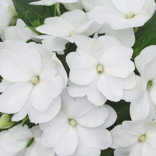 10 inch Hanging Basket White New Guinea