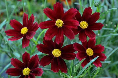 Coreopsis Lil' Bang 'Red Elf'