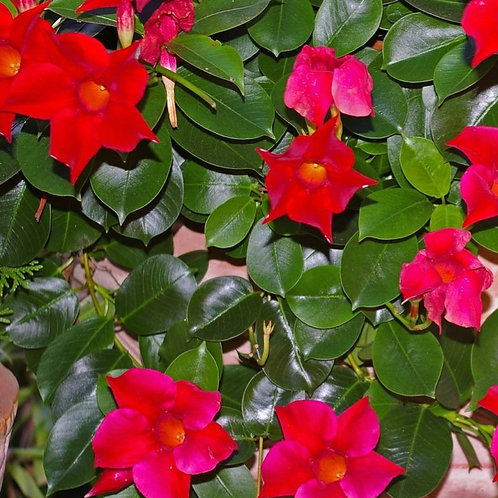 10 inch Red Dipladenia Bush