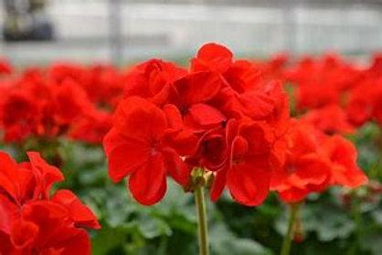 6 inch Bright Red Geranium