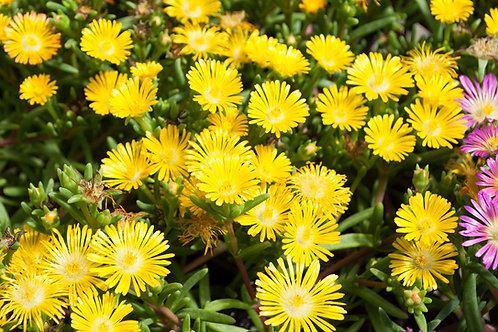Delosperma 'Delmara Yellow'