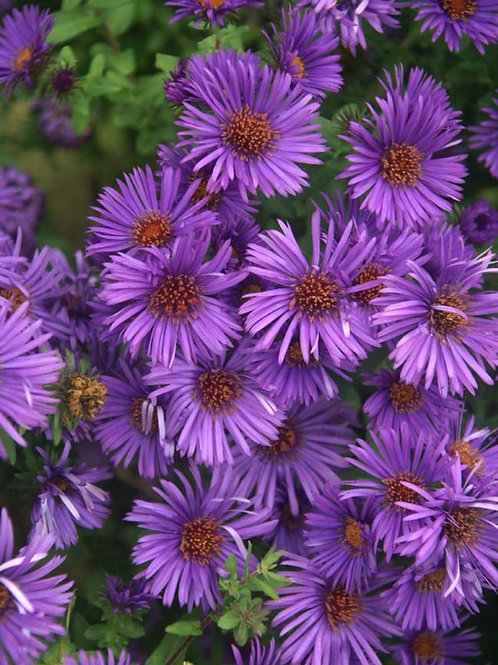 Aster 'Purple Dome'