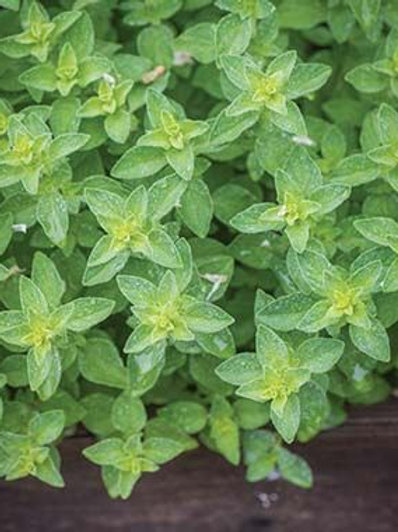 Oregano, Hot and Spicy