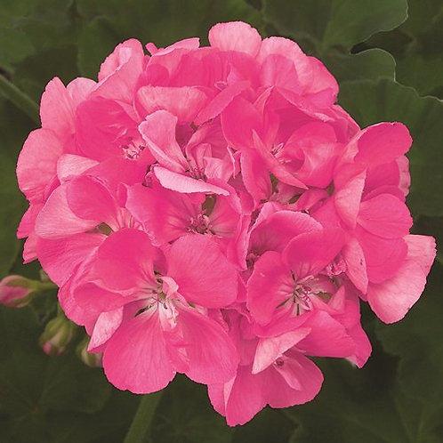 4 inch Bright Pink Geranium