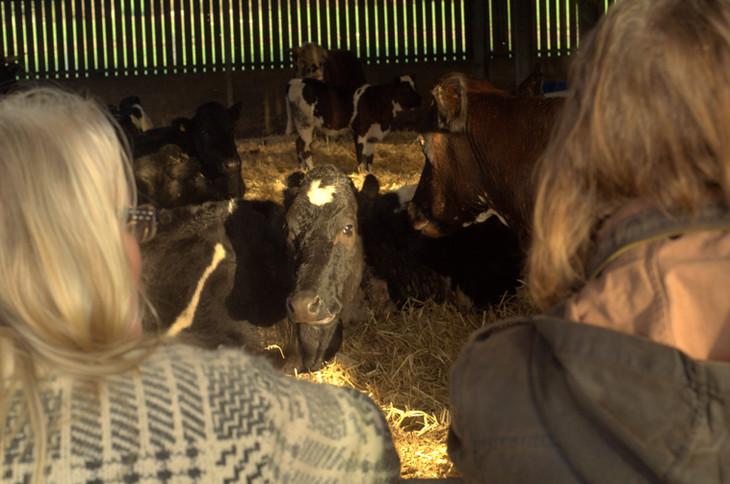 cattle cows Linda Wright Moor Wild Exper