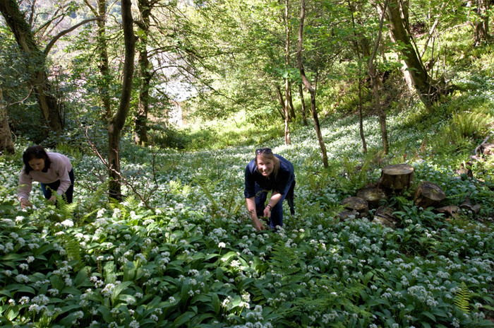 wild garlic forage Heddons Gate(3) .jpg