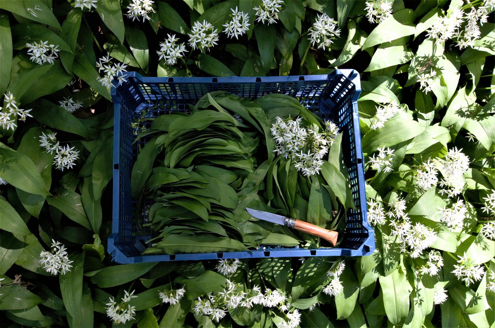 wild garlic forage Heddons Gate(9) .jpg