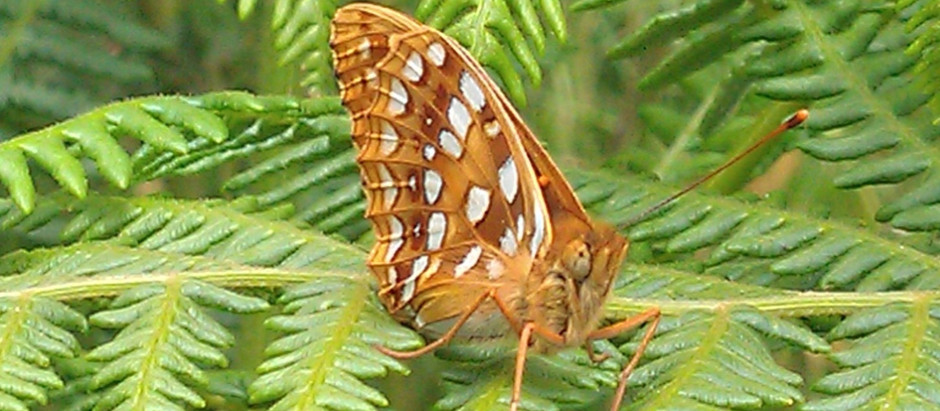 The high brown fritillary is early!