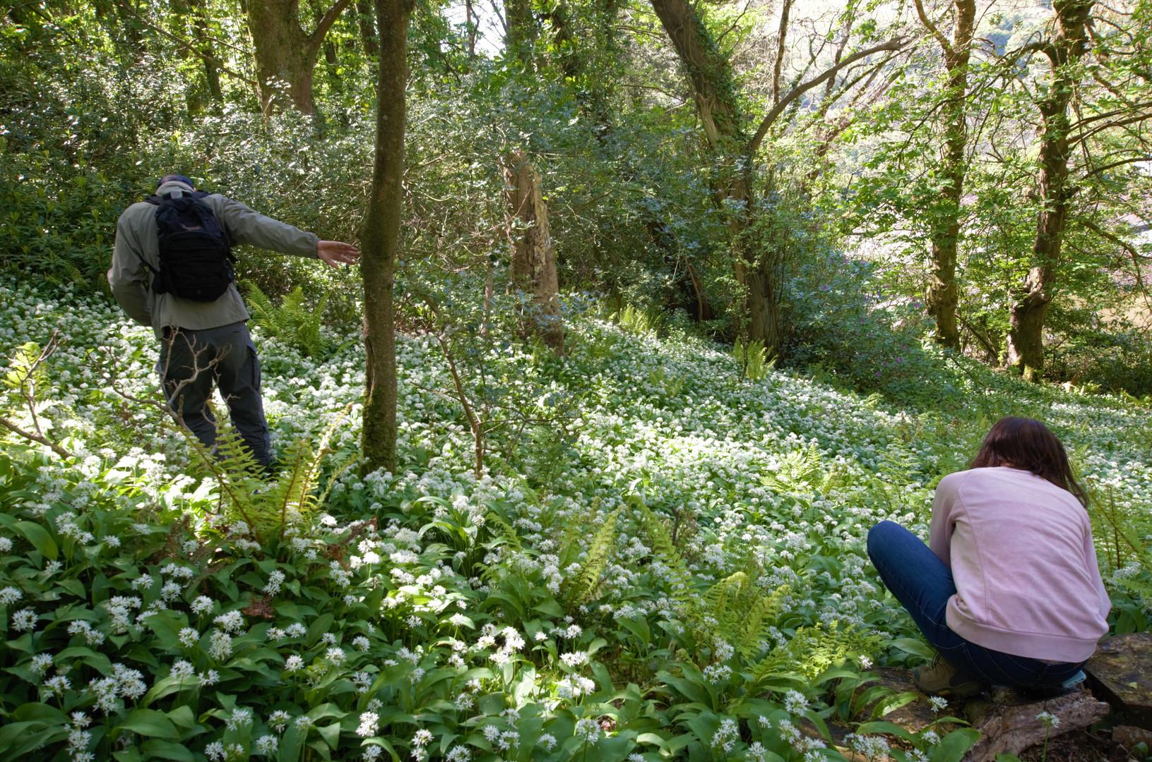 wild garlic forage Heddons Gate(2) .jpg