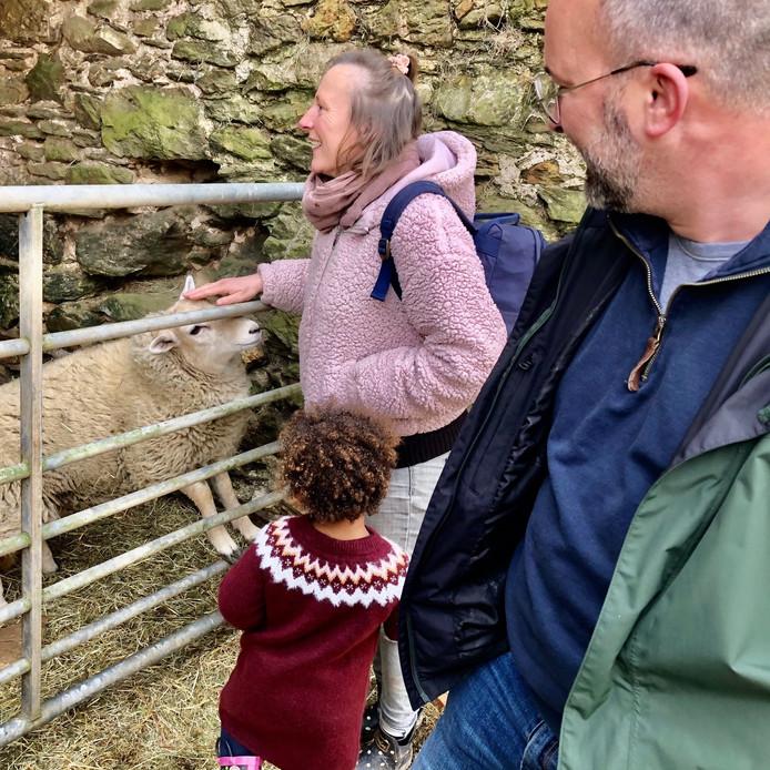 Meet farm animals sheep foraging feastin