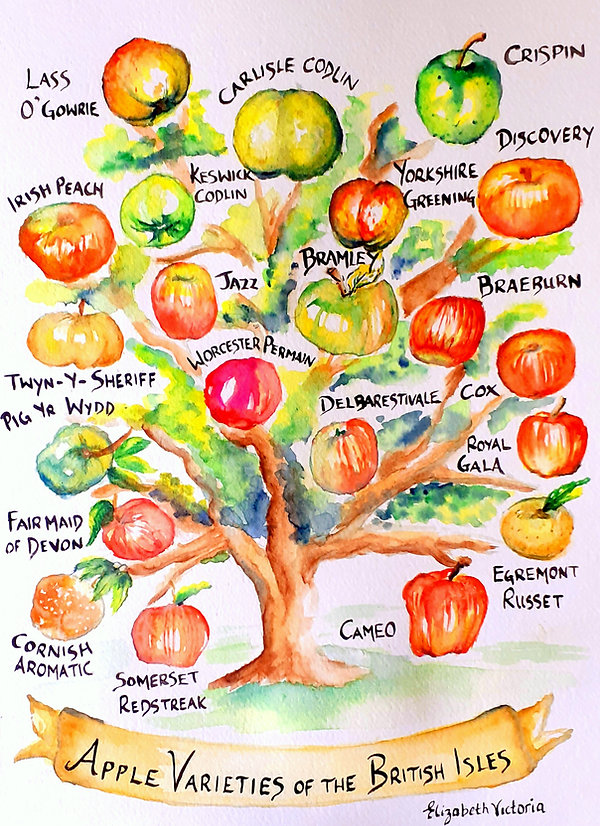 Apple Varieties Elizabeth Victoria Art(2