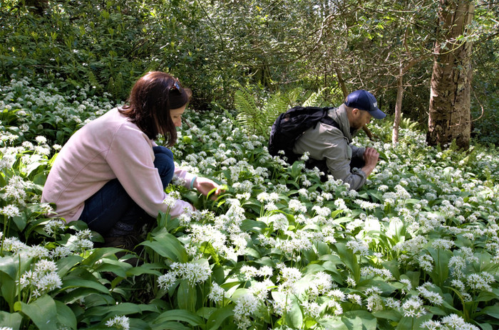 wild garlic forage Heddons Gate(11) .jpg