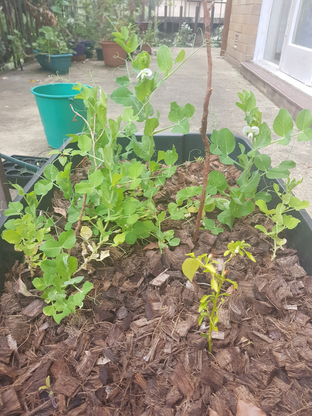 Latest update - peas are going strong
