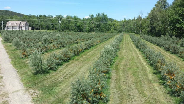 Plantation Argousiers 2019