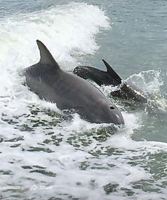 dolphin and baby.JPG