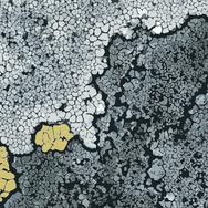 Lichen - Lemon