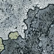 Lichen - Pear