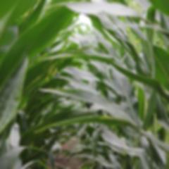 corn close up 35.png