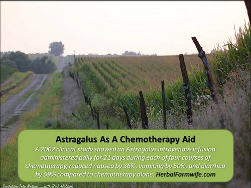 Astragalus As A Chemotherapy Aid