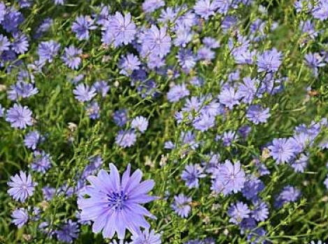Can Chicory Help With Cancer?