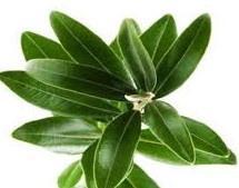 Can't Get Rid Of That Bacteria Infection? Three Words. Olive Leaf Extract.