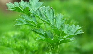 Parsley As A Diuretic and Bloating Reliever