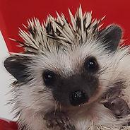 Otsego Hedgehogs Rated Best Hedgehog Breeder in MN
