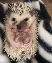 Otsego Hedgehogs Rated Best Hedgehog Breeder in MN