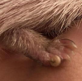 hedgehog toenail.jpg