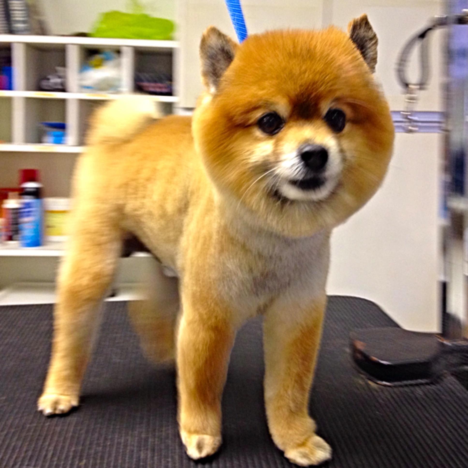 Teddy Pomeranian