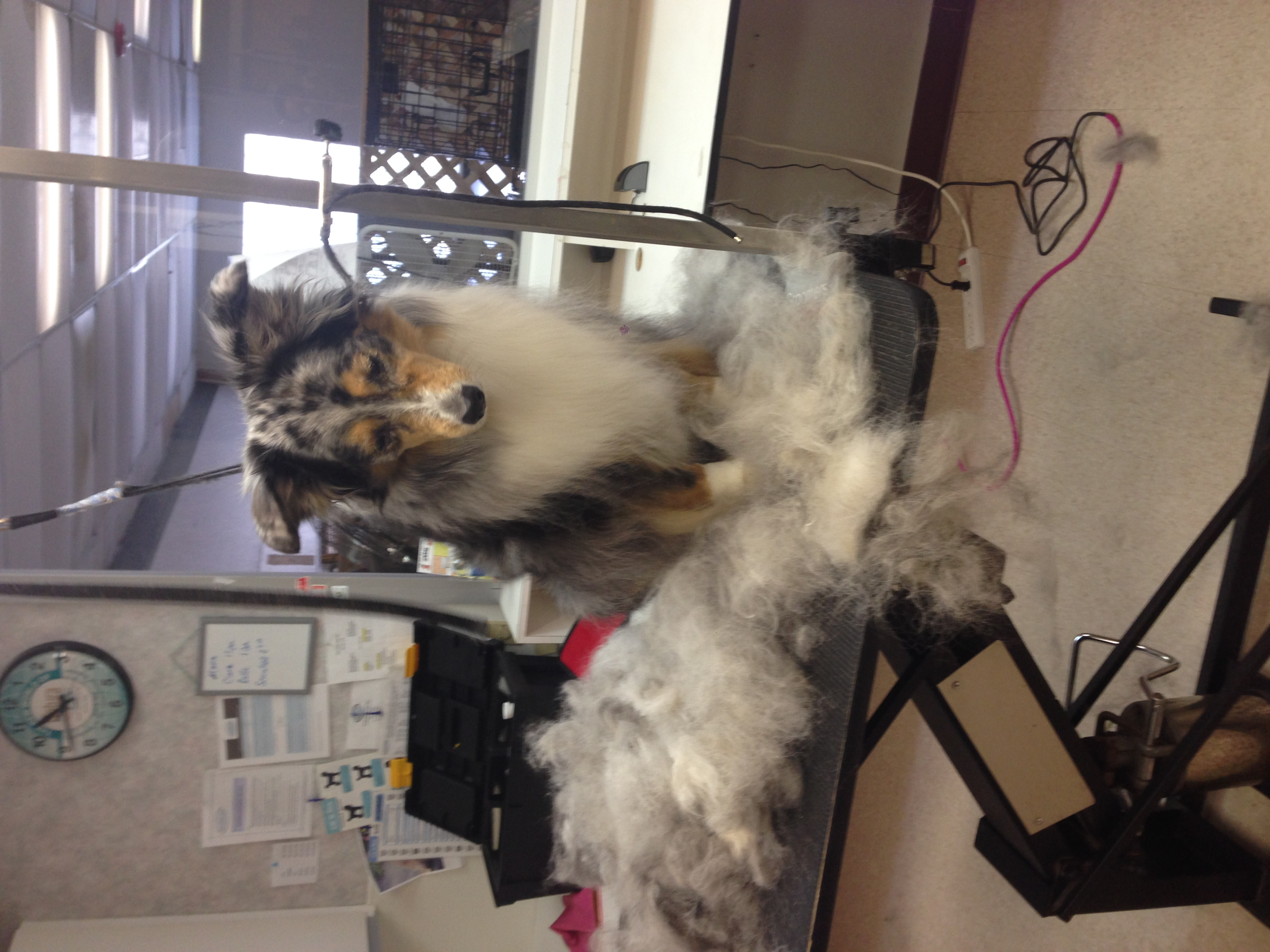 Aussie Shedding Coat Removal