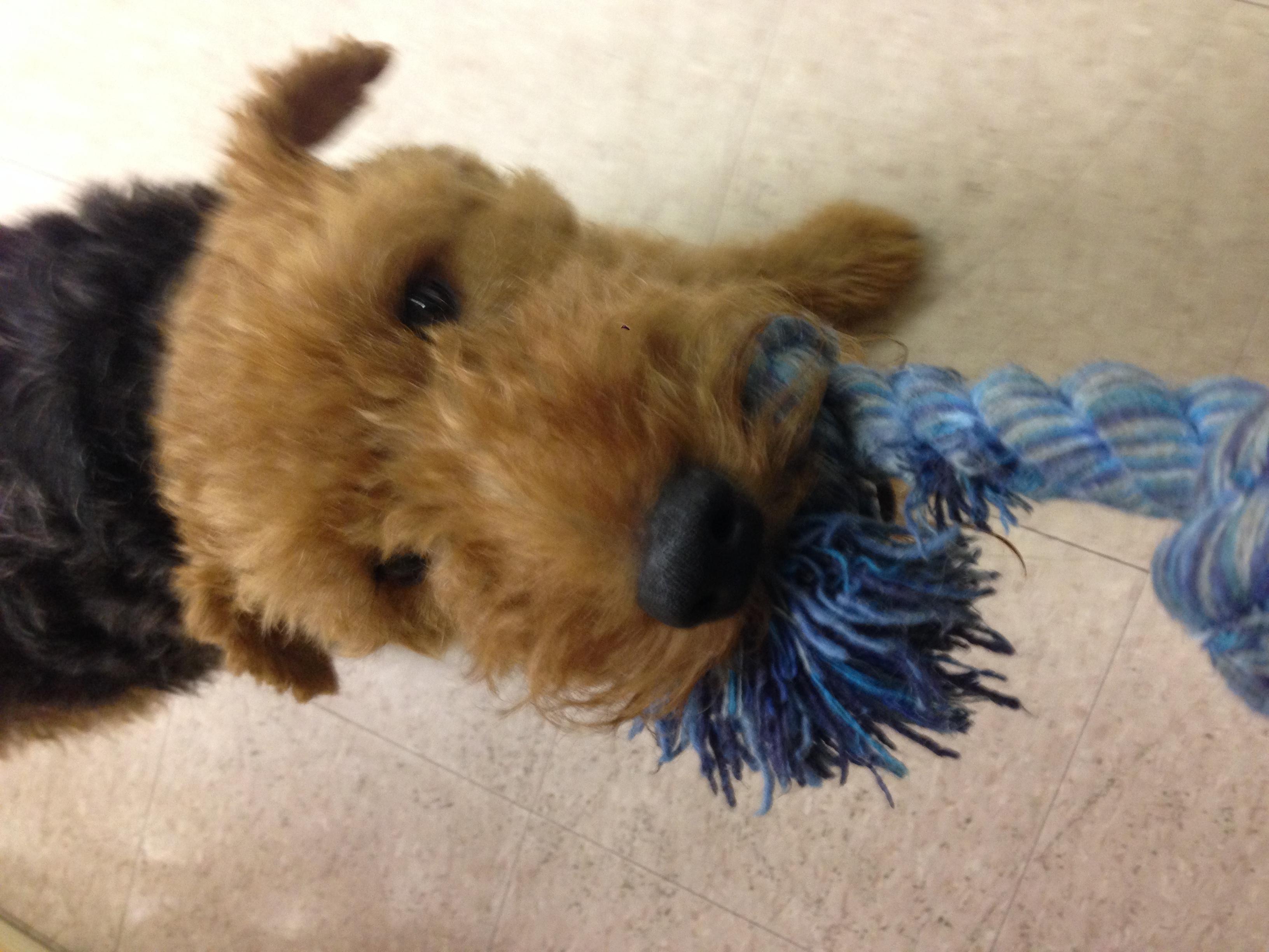 Welsch Terrier
