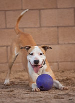 Dog with ball at NHS in play pose for AT