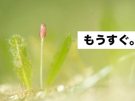 ヤマトウミヒルモの蕾