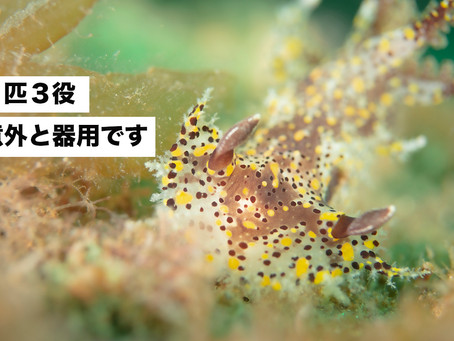 ヒカリウミウシ